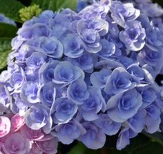 1000 images about love of hydrangeas on pinterest. Black Bedroom Furniture Sets. Home Design Ideas