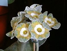 'Clouded Yellow' Auricula [Family: Primulaceae]; Photographed by Henry Pugh