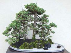 seltene mischung farbe ahorn samen ahorn samen bonsai-baum, Best garten ideen