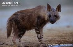 brown hyena - Google Search