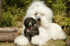 Standard and toy poodles...so cute.