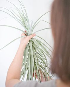 "Have you seen our ""Harry"" in the shop?  It's a giant tillandsia straminea that is nearly 24"" & over 10 years old that we've had in the shop for a while now. Petting ""Harry"" is a favorite for our tiniest children shoppers just to make sure it's real.  #ModernPlantStyle #theZenSucculent"