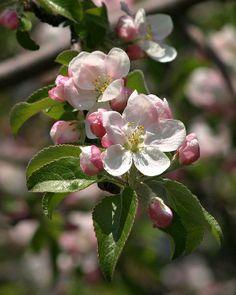 Sakura tree painting apple blossoms 57 New ideas Apple Blossom Flower, Spring Blossom, Cherry Blossom, Apple Blossoms, Apple Tree Care, Palm Tree Drawing, Oak Tree Tattoo, Flowering Vines, Autumn Trees