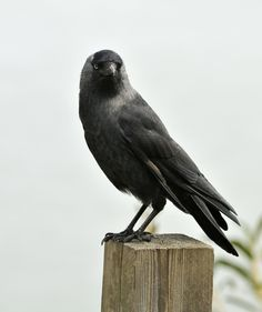 Counting Crows | Raven Crow Birds #SmartAnimals Animal Lover