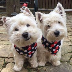 I love Westies! Westies, Westie Puppies, Cute Puppies, Dogs And Puppies, Doggies, West Highland Terrier, Animals And Pets, Baby Animals, Cute Animals