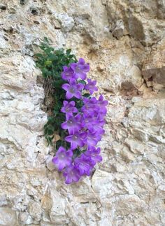 ✿ڿڰۣ(̆̃̃ღ Unusual Flowers, Small Flowers, Amazing Flowers, Purple Flowers, Beautiful Flowers, Rock Flowers, Flowers Nature, Wild Flowers, Alpine Flowers