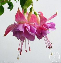 Big Sale!Purple Double Petals Fuchsia Seeds Potted Flower Seeds Potted Plants Hanging Fuchsia Flowers 50 Seed/Pack,#1FOY4K