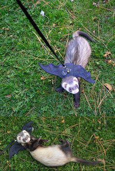 Funny pictures about The Batferret Is a New Kind Of Pet. Oh, and cool pics about The Batferret Is a New Kind Of Pet. Also, The Batferret Is a New Kind Of Pet photos. Ferrets Care, Funny Ferrets, Animals And Pets, Baby Animals, Funny Animals, Super Funny Pictures, Cute Pictures, Funny Pics, Funny Images