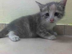 TO BE DESTROYED 8/2/14 ** BABY ALERT! ONLY 5 WEEKS OLD! upon intake the kitten appeared to be very sweet, Too young to adopt, eating well on own Female 5 weeks Littermate A1008380 NSF ** Brooklyn Center  My name is CHRISTINA. My Animal ID # is A1008379. I am a female calico domestic sh. The shelter thinks I am about 5 WEEKS old.  I came in the shelter as a STRAY on 07/28/2014 from NY 11203. I came in with Group/Litter #K14-187742.