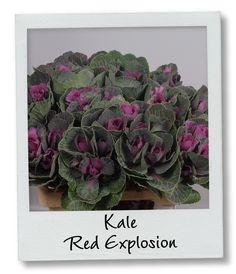 Holex Insights newsletter week 39 - Kale Red Explosion