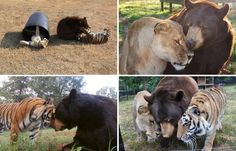 A lion, tiger and bear recovered in a drug bust in 2001 have been living together ever since at an animal rescue center near Atlanta. Leo, Shere Khan and Baloo are like brothers; caretakers say separating them would bring depression. >>> http://www.youtube.com/watch?feature=player_embedded&v=kzJue2AkO_Q
