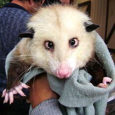 Google Image Result for http://www.chilloutpoint.com/images/2009/march/crazy_animals/opossum.jpg