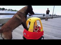 """I wouldn't mess with this kids or his toy car if I were you! Eteo, the Belgian Malinois is a personal protection dog trained by Protection Dogs Plus. The """"Plus"""" means that when the trained German Shepherds and Belgian Malinois aren't busy taking out bad guys, they're ready to be kid-friendly companions! In this video, filmed in Newburyport, MA, you can see Eteo bonding with 3 year old Aden."""
