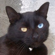 Odd-eyed cat - Wikipedia, the free encyclopedia