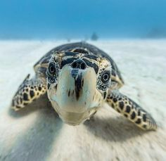Did you know - Baby sea turtles make their way to the ocean as soon as they hatch. Due to COVID-19, baby leatherback sea turtles are doing better than they have in years, now that many humans are opting (or being ordered) to stay off beaches.  www.piyogapants.com  #piyogapants Save The Sea Turtles, Baby Sea Turtles, Ninja Turtles, Tortoise Turtle, Tortoise Care, Marine Conservation, Turtle Love, Interesting Animals, Tortoises