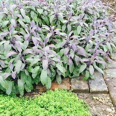 Purple sage with a touch of thyme. #loveherbs #herbsrock #freshherbs #organic #mossmountainfarm #sharethebounty #joy #simple #classic