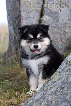If anyone is wondering what to get me for my upcoming graduation, this is it!!!  It is a finnish lapphund puppy (the cutest puppy ever).  Thanks in advance :)