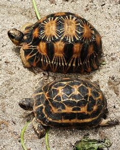 """Radiated Tortoise (Geochelone radiate or Astrochelys radiate), top; and Spider Tortoise (Pyxis arachnids), bottom - photo from peace-on-earth, via Flickr;  Both species are endemic to Madagascar, and are classified as Critically Endangered.  (The """"star"""" pattern on the Radiated Tortoise is more finely detailed and intricate than the normal pattern of other star-patterned tortoise species.)"""
