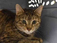 NYC Beautiful Girls World is Upside-Down** TO BE DESTROYED 03/25/15 BABY has lived with other cats & was friendly - She played gently & was affectionate. Baby is extremely fearful at facility & currently does not tolerate petting or handling.NH  ID #A1030816. Female brn tabby  about 4 YEARS old  OWNER SICK.  https://www.facebook.com/nycurgentcats/photos/a.978008928883761.1073742635.220724831278845/978009052217082/?type=3&theater