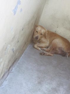 9/6/16 Too afraid to move, young Lab at shelter 'likely to be killed for fear'