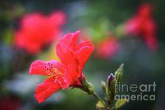Cadiz Spain, Hibiscus, Park, Flowers, Plants, Parks, Flora, Plant, Royal Icing Flowers