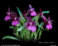 Miltonia spectabilis v. Morelliana. A species orchid (color)