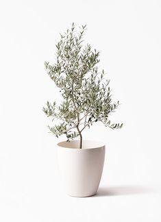 Herb Garden, Garden Plants, Indoor Plants, House Plants, Potted Olive Tree, Unusual Plants, Garden Planning, Four Seasons, Greenery