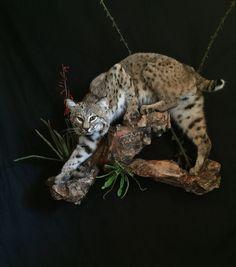 Sneaking Bobcat by Brian Hendricks