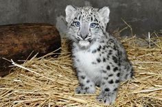 baby snow leapord...I want to snuggle it!!!!