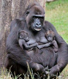 Mamá gorila