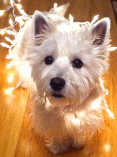Merry Christmas! From Claude! This one definitely made my holiday card #Westie