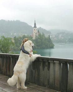 Great Pyrenees on lake Bled - Tap the pin for the . Great Pyrenees on lake Bled – Tap the pin for the most adorable pawtastic fur baby apparel! You& love the dog clothes and cat clothes! Animals And Pets, Funny Animals, Cute Animals, Beautiful Dogs, Animals Beautiful, Cute Puppies, Dogs And Puppies, Pet Dogs, Dog Cat