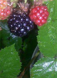 Blackberry and apple jam recipe