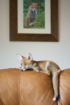 The house fox.