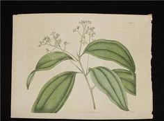 ANTIQUE PRINTS - Large 19 C. Antique 1818 Botanical Print H/C by PeggysAntiques, $57.50 #antiqueprints #peggysantiques