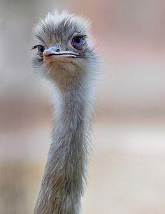 Ostrich, The Next Covergirl Model for Eyelash Makeup