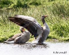 The landing of a goose