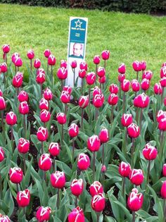 Beautiful tulips in Amsterdam's Keukenhof Gardens. Amsterdam Tulips, Amsterdam Holland, Putin Funny, Kingdom Of The Netherlands, South Holland, Heart Of Europe, The Hague, Pink Petals, Tulips Flowers