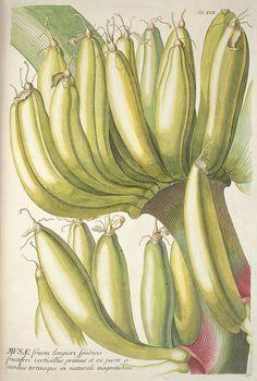 Plantae selectae quarum imagines ad exemplaria naturalia Londini, in hortis curiosorum nutrita. [S.l. :s.n.],1750-1773.. biodiversitylibrary.org/page/677941