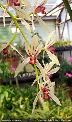 Cymbidium dayanum Cym. ensifolium album Cym. finlaysonianum