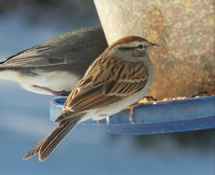 Chipping Sparrow - Photo by Alan Wiltsie