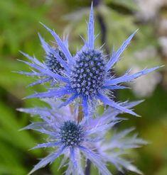 Praktmartorn | Blomsterlandet.se Dandelion, Garden, Flowers, Plants, Nature, Colors, Garten, Dandelions, Lawn And Garden