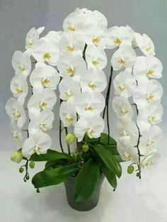 50 pcs/bag Orchid Bonsai Butterfly Phalaenopsis Orchid Potted Flower Perennial Garden Plant For Home Garden Flowers , Exotic Flowers, Amazing Flowers, Beautiful Flowers, Orchid Pot, Orchid Plants, Orchid Seeds, Moth Orchid, White Orchids, White Flowers