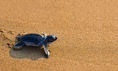 witness a baby sea turtles journey. Turtle Beach, Turtle Love, Baby Animals, Cute Animals, Baby Sea Turtles, St Simons Island, Wild Creatures, Ocean Creatures, Tortoises