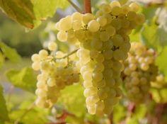 Le Chardonnay : cépage blanc des grands vins de Bourgogne