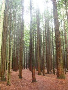Tall Trees Sucked Dry by Global Warming  --  Climate change will challenge tall trees like California's redwoods
