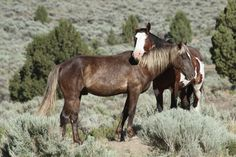 south steens wild horses-Juniper and Ditto