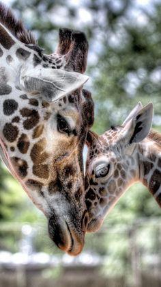 giraffe, baby, mother, tenderness, hdr