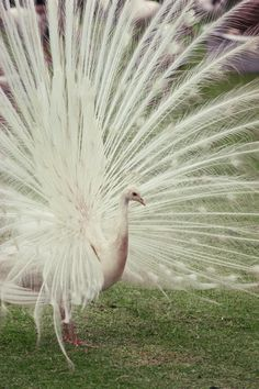 These are actually Albino Peacocks, which are white as a result of a rare disease called albinism.   http://www.hoaxorfact.com/Science/white-peacocks-do-they-exist.html