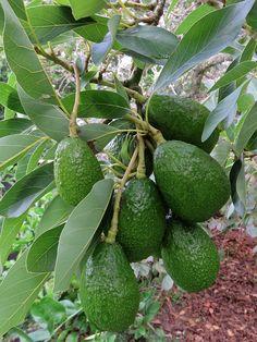 Pianta di avocado. Tutte le tecniche e consigli per quest'albero da frutto: come piantare la pianta d'avocado,coltivarla, irrigare, concimare e potare.